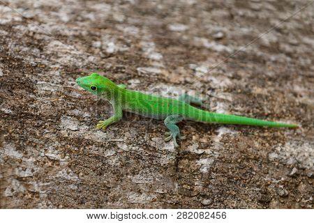 Day Geckos Phelsuma, Phelsuma madagascariensis, in its natural habitat. Farankaraina Tropical Park, Toamasina province, Madagascar wildlife and wilderness poster