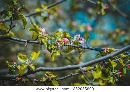 Florescence Of Apple Tree In The Garden Close-up Spring Shot On Blue Sky Background