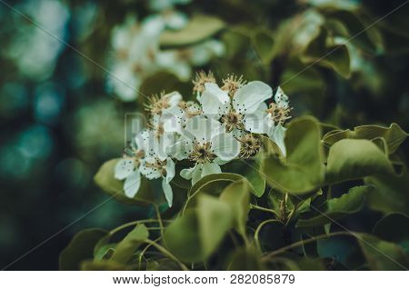 Florescence Of Plum Tree In The Garden Close-up Spring Scene On Bright Bokeh Background