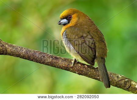 Prong-billed Barbet - Semnornis Frantzii - A Distinctive, Relatively Large-billed Bird Native To Hum