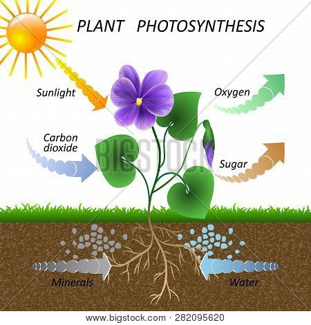 Vector Diagram Of Plant Photosynthesis, Science Education Botany Poster, Illustration For Studying B