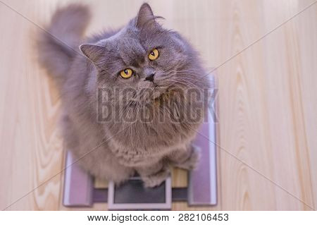 The Gray Big Long-haired British Cat Sits On The Scales And Looks Up. Concept Weight Gain During The