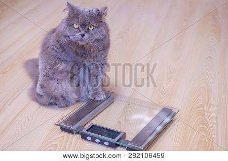 The Gray Big Long-haired British Cat Sits Near The Scales And Looks Up. Concept Weight Gain During T
