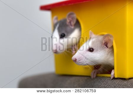 Two Funny White And Gray Tame Curious Mouses Hamsters With Shiny Eyes Looking From Bright Yellow Cag
