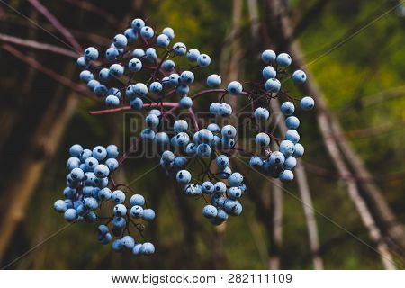 Blue Forest Berries Growing Ripe Near A Bundle Of Twigs