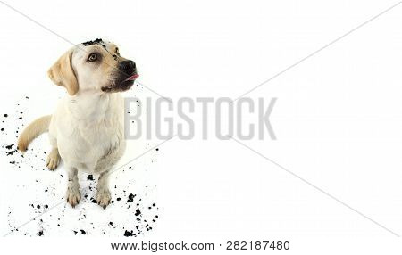 Funny Dirty Dog Making A Fat. Labrador Puppy After Play In A Mud Puddle. Isolated Studio Shot Agains