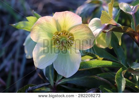 Helleborus In Organic Garden.despite Names Such As Winter Rose, Christmas Rose And Lenten Rose Helle