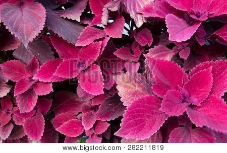 Beautiful Burgundy Coleus. Coleus Is A Bright Colorful Annual That Is Shade Loving And Drought Resis