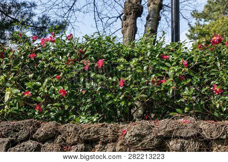 Camellia Flower Over The Wall