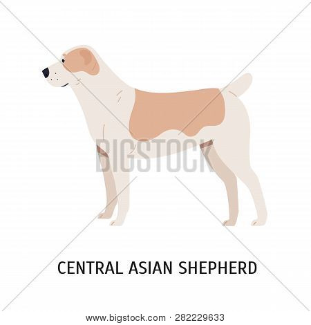 Central Asian Shepherd Or Alabai. Large Herding Dog Or Sheepdog Isolated On White Background. Gorgeo