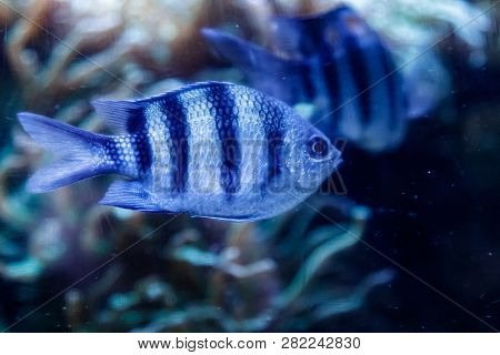 Macro Fish Sergeant Major Abudefduf Saxatilis