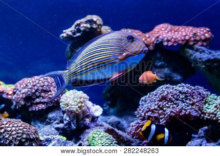 Fish Striped Surgeon Acanthurus Lineatus