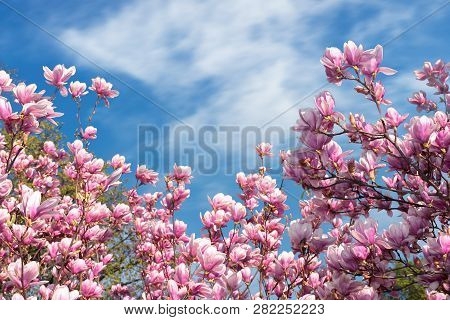 Pink Magnolia Blossom In Spring. Beautiful Flowers Beneath A Blue Sky With Fluffy Cloud On A Sunny D