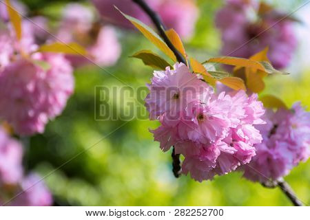 Pink Sakura Blossom In Spring. Beautiful Flowers On A Twig In Green Garden Background. Wonderful Nat