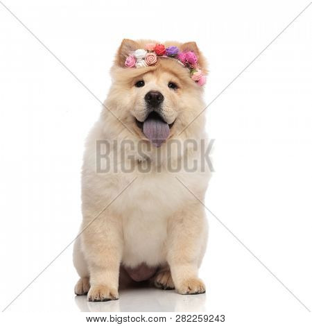 happy chow chow wearing colorful flowers crown panting and sitting on white background