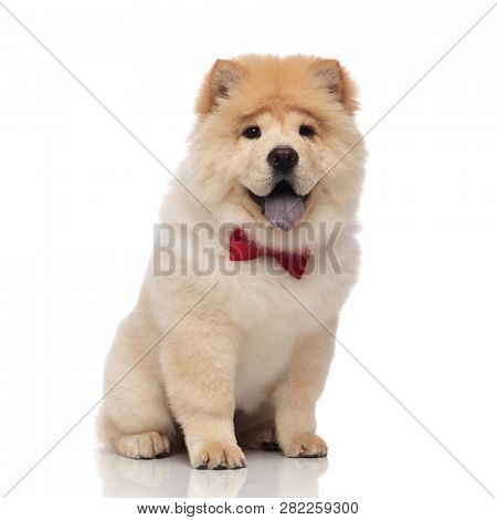adorable chow chow wearing red bowtie sitting on white background with tongue exposed