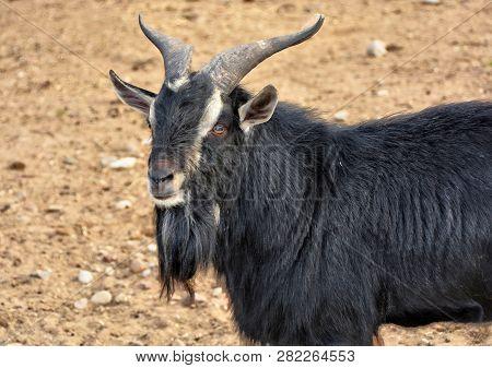 Black Goat. Close Up. Hoofed Animals. Countryside.