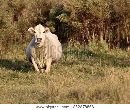 Pregnant White Cow Watchful In Her Florida Field