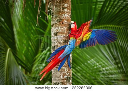 Red Parrot (macaw Parrot) Fly In Dark Green Vegetation. Scarlet Macaw, Ara Macao, In Tropical Forest