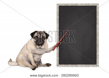 Serious Pug Puppy Dog Sitting Next To Blank Blackboard Sign, Holding Red Pointer, Isolated On White