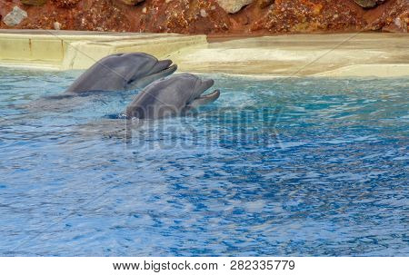 Dolphins Swimming Around The Pool Are Happy And Entertain The People That Watch
