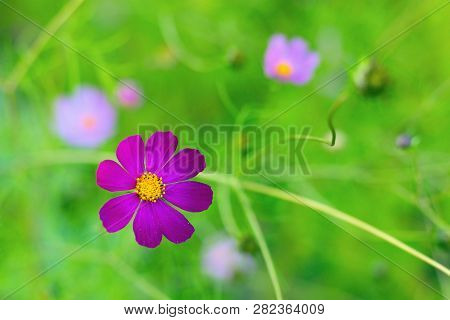 Bright Summer Floral Natural Background. One Violet Flower Cosmos Bipinnatus On A Blurred Green Back
