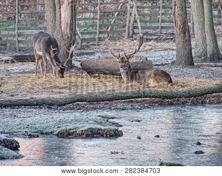 Whitetail deer fawn feeding with oak corns hidden in dry autumn leaves. Old sturdy male. poster