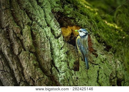 Cyanistes Caeruleus. Wildlife. Wild Nature Of Czech. Beautiful Picture. Free Nature. From Bird Life.