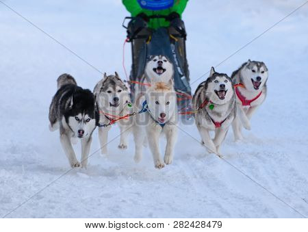 Six Husky Are Running In The Sled In A Snow. The Draught Dogs Are In Outdoors In Winter.
