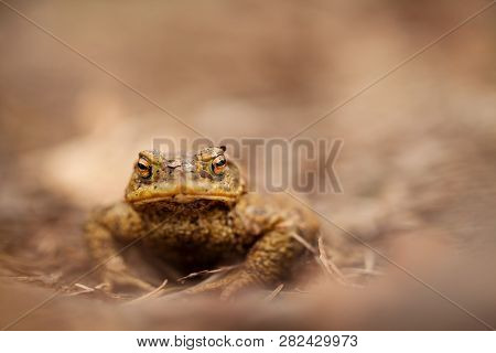 Bufo Bufo. Wild Nature. Beautiful Picture. Nature Of The Czech Republic. Frog. From Frog Life. Anima