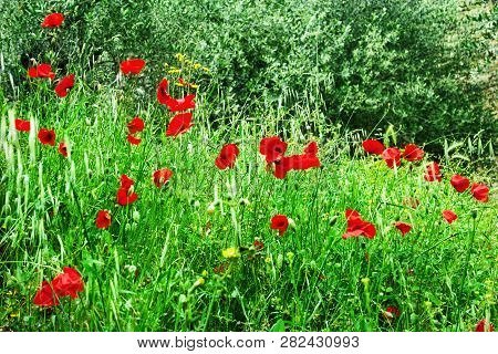 Field With Oats And Poppies. Summer Or Spring Concept