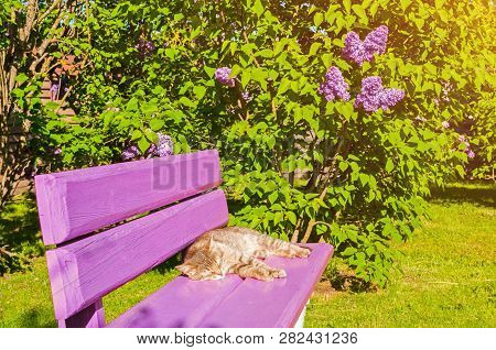 Spring landscape - spring lilac flowers blooming in the spring garden and cat lying on the pink bench. Spring nature landscape. Spring sunny garden