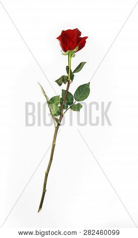 Beautiful Bud Of Red Rose On Long Stem. Single Dark Red Ruby Rose Isolated On White Background. Clos