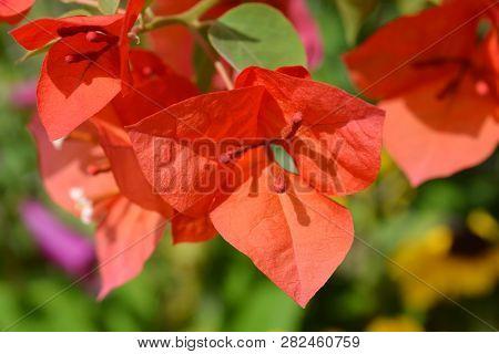 Great bougainvillea flowers - Latin name - Bougainvillea spectabilis poster