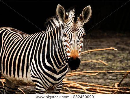 Beautiful African Zebra. African Wildlife. African Safari. Wild Animals.