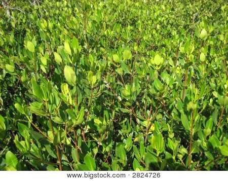 Mangroves - View From The Top