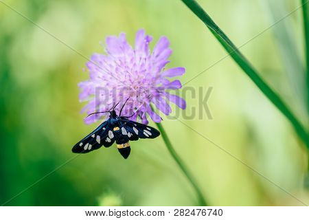 Nine-spotted Moth Sitting On The Pink Flower