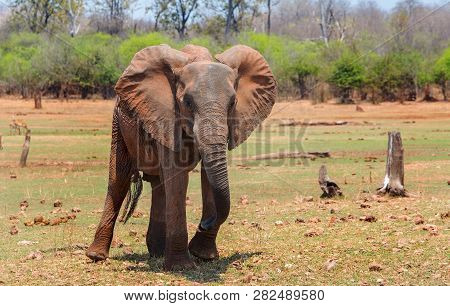 Large African Elephant Standing On The Parched Grass Plains With A Natural Bush Background In Matusa