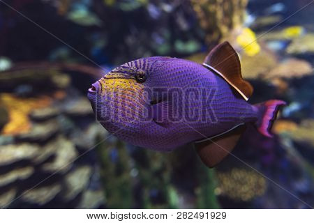 Red-toothed Triggerfish - Odonus Niger Saltwater Fish, Close Up, Detail