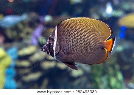 Redtail Butterflyfish (chaetodon Collare) - Coral Fish, Detail, Close Up