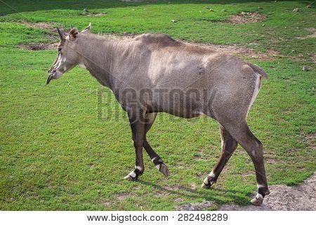 Wild antelope donkey walks in zoo aviary yard poster