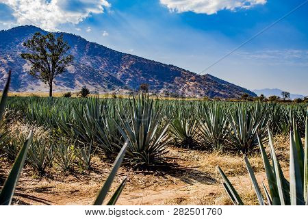 Amazing View Of An Blue Agave Plantation In Tequila Jalisco Mexico With Mountains In The Background