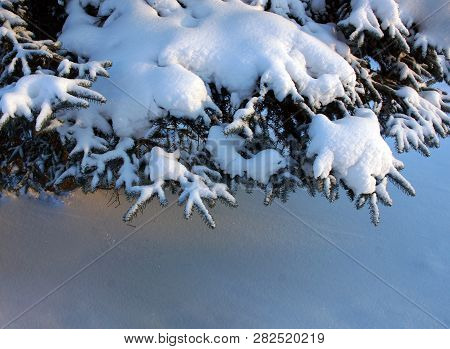 Feet Spruce Branches Snow, Copy Space  Text Space.winter Weather. Festive Decoration. Christmas Back