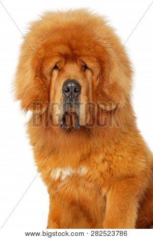 Portrait Of A Tibetan Mastiff Dog On White Background, Front View. Animal Themes