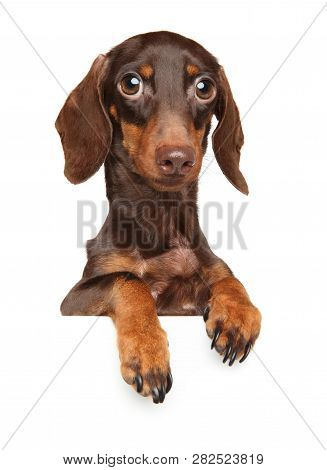 Funny Brown Dachshund Puppy Over Banner Isolated On White Background