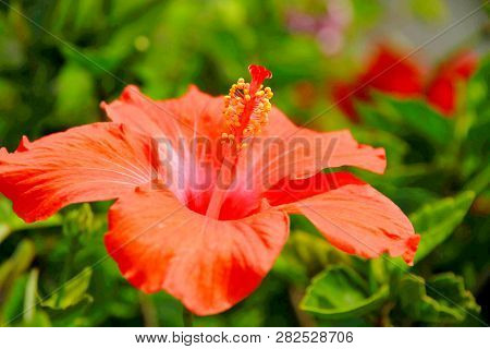 Photo Of Orange Hisbiscus Colse Up Revealing Its Pollen And Any Reproductive Organ Of Flower Plant.