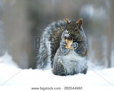 Gray Squirrel - Sciurus Carolinensis - Eastern Gray Squirrel Or Grey Squirrel, Closeup On Snow With