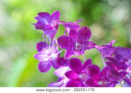 Beautiful Orchid Purple Flower Tropical Plant In Nature With Green Blur Bokeh Background