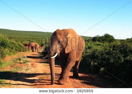 African Elephant Bull (Loxodonta Africana) Walking Through Addo Bush