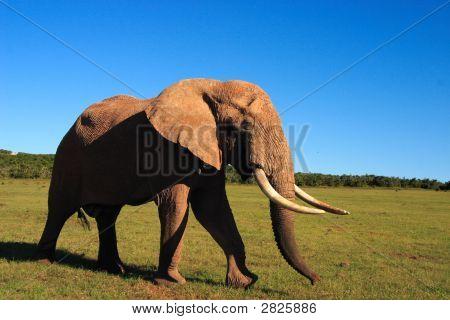 African Elephant Bull (Loxodonta Africana) Showing Large Tusks